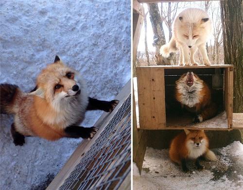 Có rất nhiều loài cáo quý hiếm như cáo tuyết, cáo đỏ